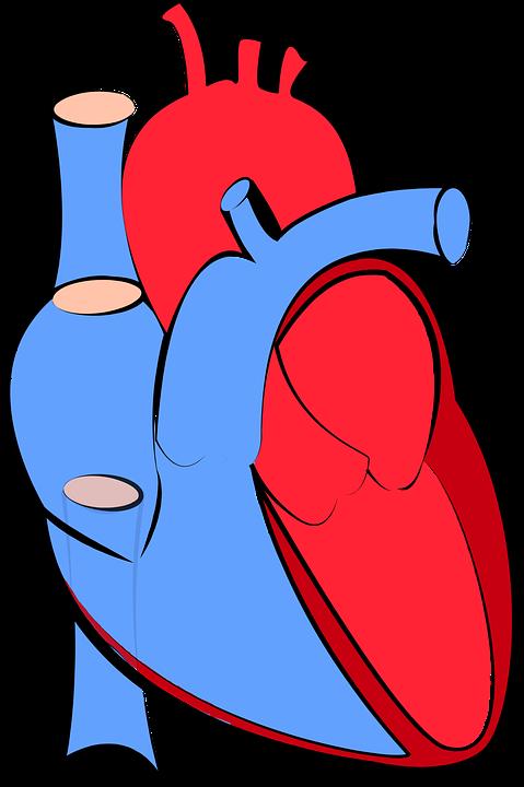 Human Heart Image