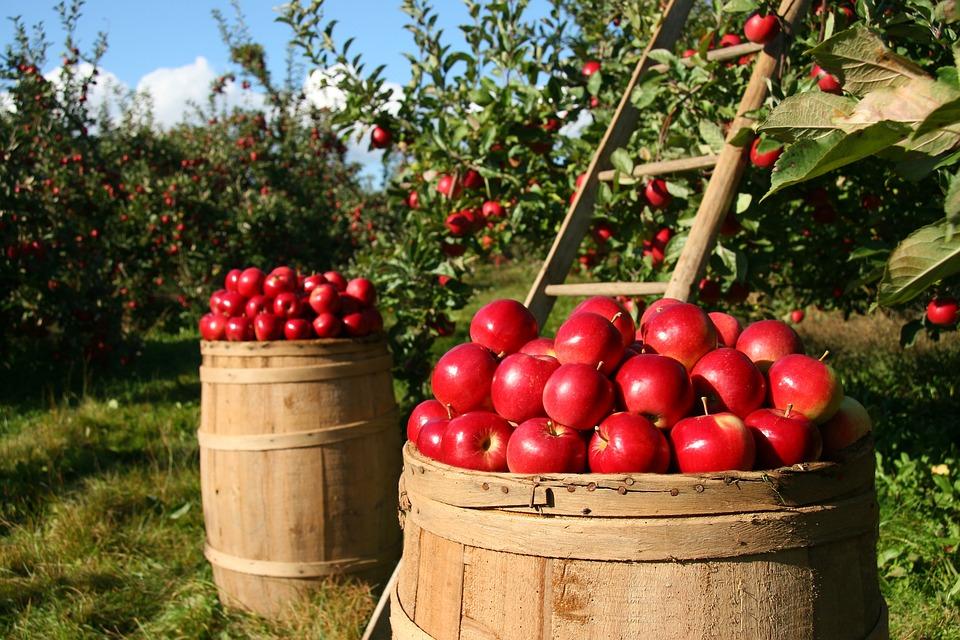 apple orchard image